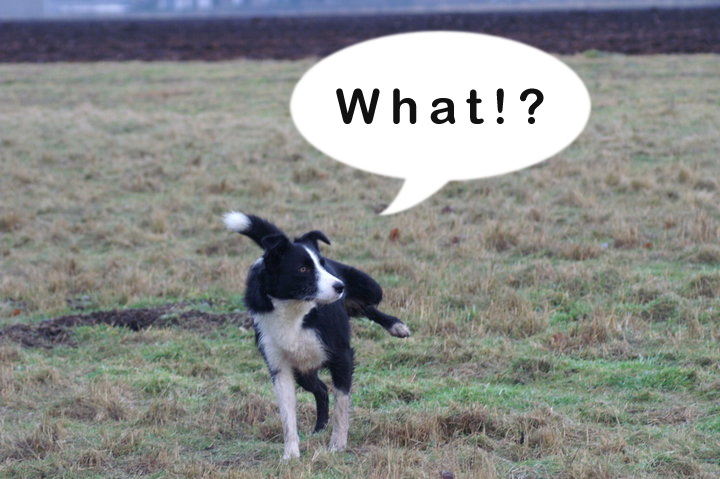 Collie_What_1